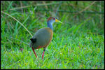 Title: Grey-necked Wood-Rail