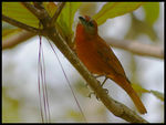 Title: Hepatic Tanager
