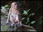 Title: Long-tailed Macaque
