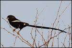 Title: Magpie Shrike