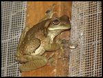 Title: Marbled Tree Frog
