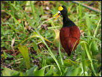 Title: Northern Jacana