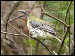 Title: Olive-backed Oriole