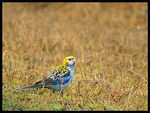 Title: Pale-headed Rosella