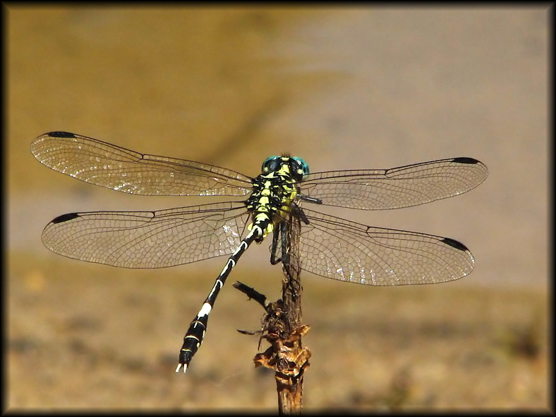 Pale Dragonfly