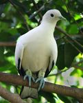 Title: Pied Imperial Pigeon