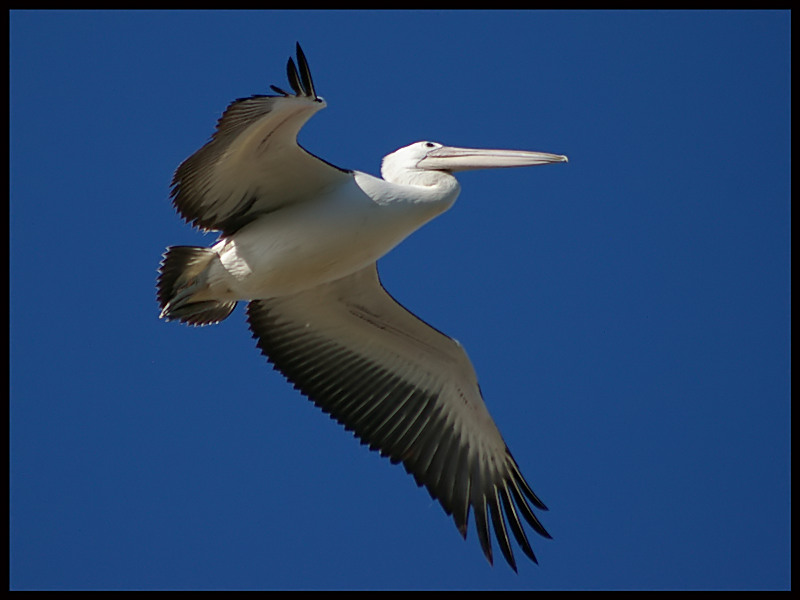Australian Pelican - flight