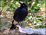 Title: Pied Currawong