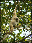 Title: Pileated Gibbon