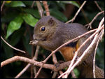 Title: Plantain Squirrel