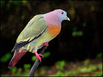 Title: Pink-necked Pigeon