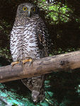 Title: Powerful Owl