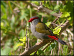 Title: Red-browed Finch 2