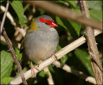 Title: Red-browed Finch