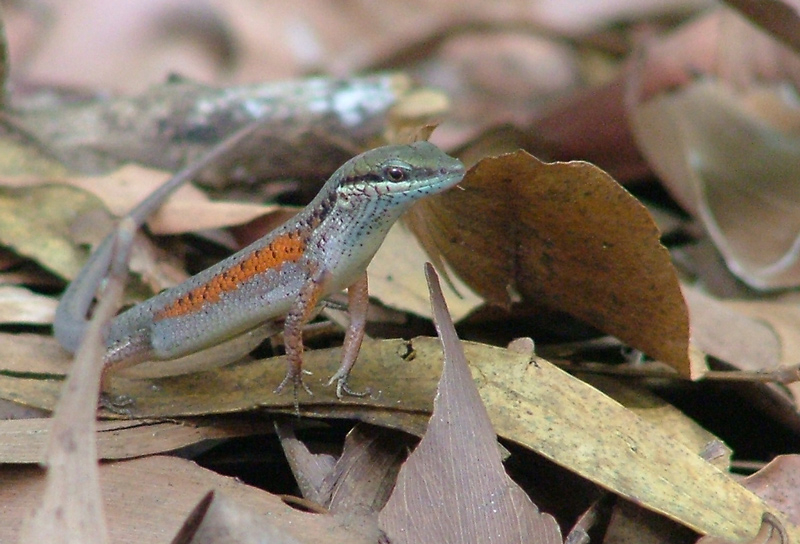 Red-sided Skink