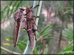 Title: Robber fly with prey