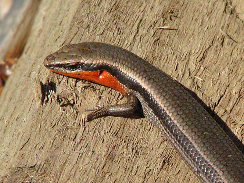 Red-throated Skink