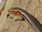 Title: Red-throated Skink