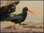 Title: Sooty Oystercatcher