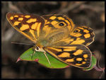 Title: Spotted Brown