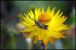 Title: Mountain Spotted Grasshopper