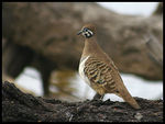 Title: Squatter Pigeon