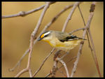 Title: Striated Pardalote 2