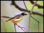 Title: Striated Pardalote