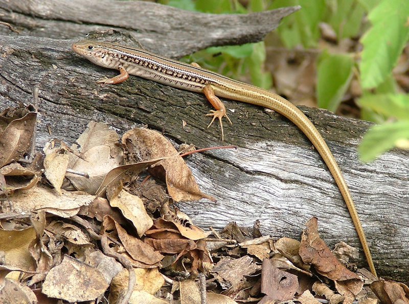 Another skink