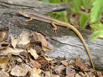 Title: Another skink