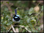 Title: Superb Fairy-wren