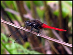Title: Common Red Skimmer