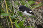 Title: New Zealand Tomtit