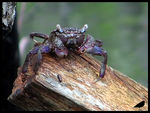 Title: tree climbing crab