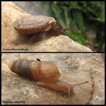 Title: Two Turkish Snails