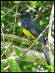 Title: Black-headed Trogon
