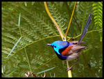 Title: Variegated Fairy-wren