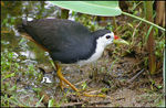 Title: White-breasted Waterhen