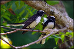 Title: White-browed Fantail