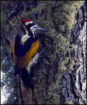 Title: White-naped Woodpecker