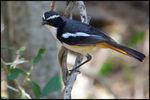 Title: White-throated Robin-Chat