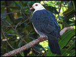 Title: White-headed Pigeon
