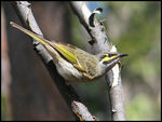 Title: Yellow-faced Honeyeater