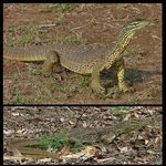 Title: Yellow-spotted Monitor