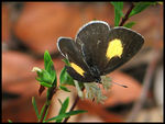 Title: Yellow-spotted Blue