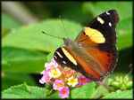 Title: Yellow Admiral
