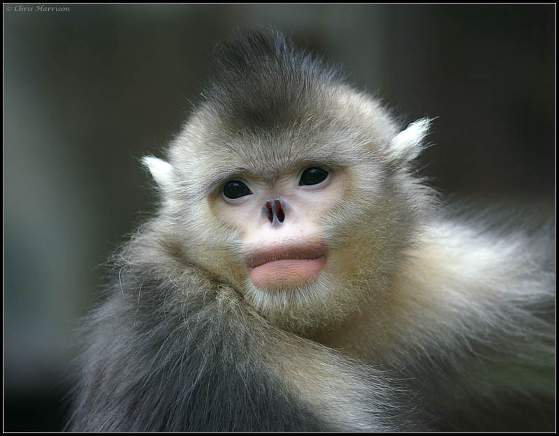 Black Snub-nosed Monkey