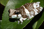 Title: Amazon Milk Frog