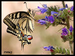Title: Swallowtail butterfly Camera: Canon 350D