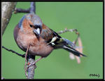 Title: Common Chaffinch